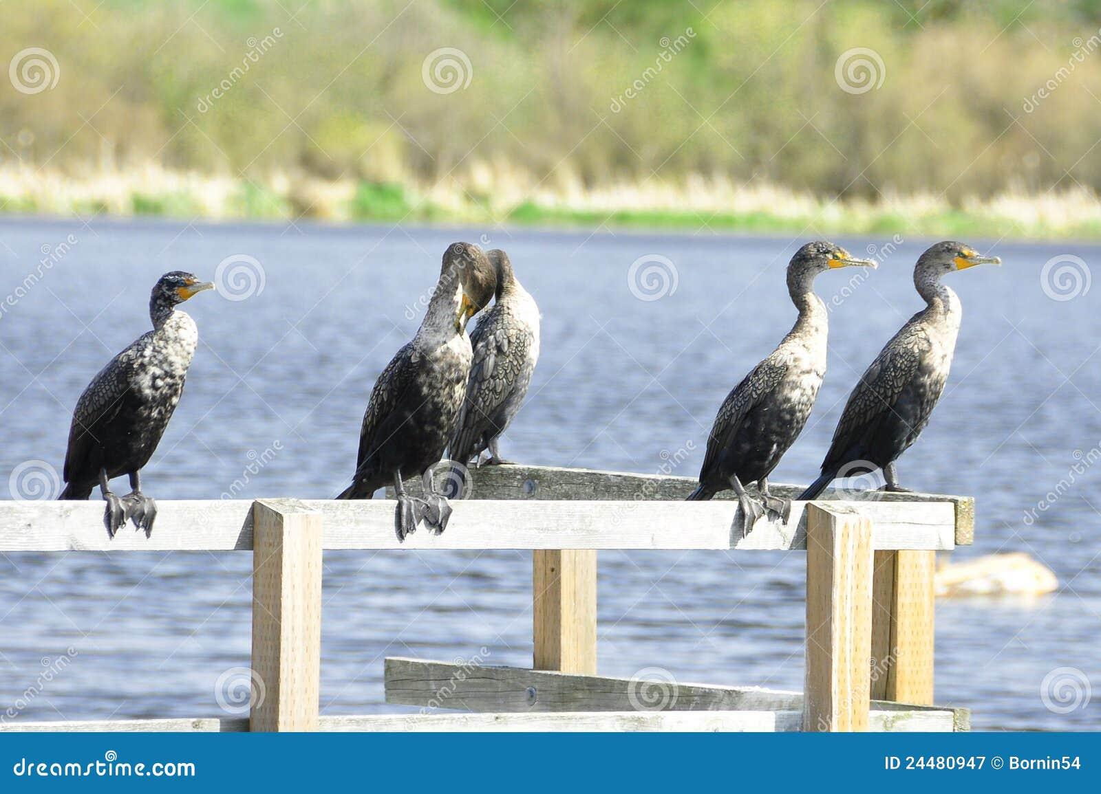 Clan dei Cormorants