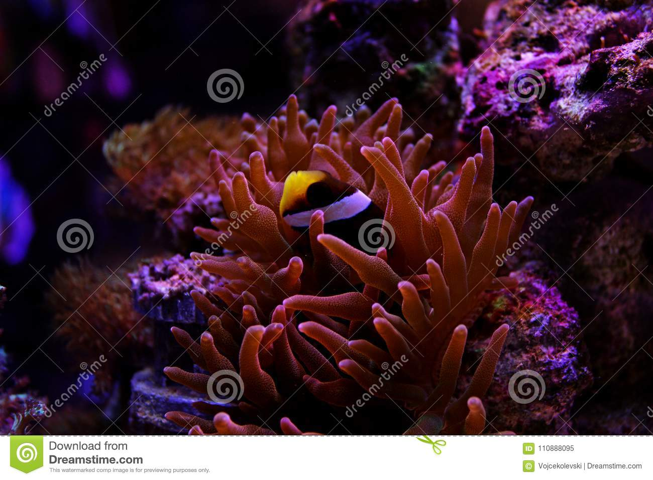Clarkii Clownfish - Amphiprion Clarkii Stock Image - Image of fish ...