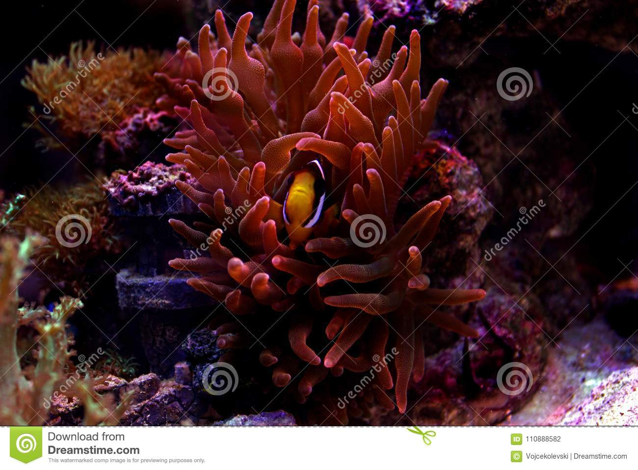 Clarkii Clownfish - Amphiprion Clarkii Stock Photo - Image of ...