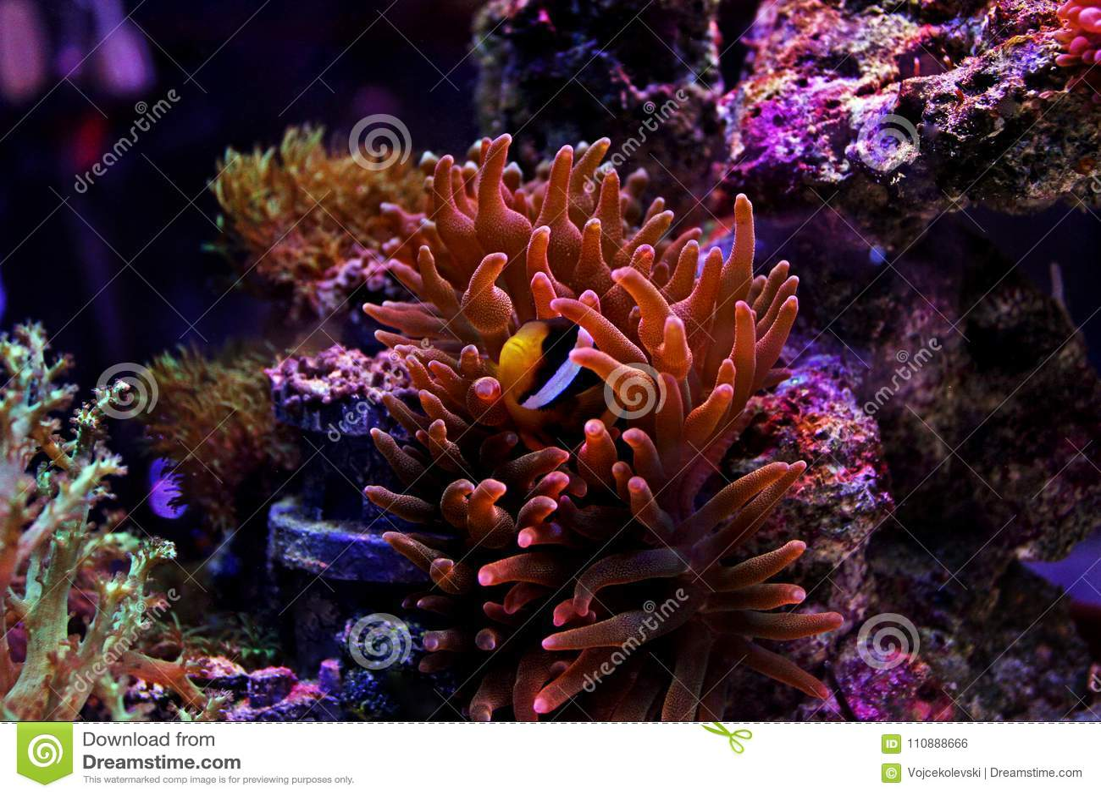 Clarkii Clownfish - Amphiprion Clarkii Stock Photo - Image of ...
