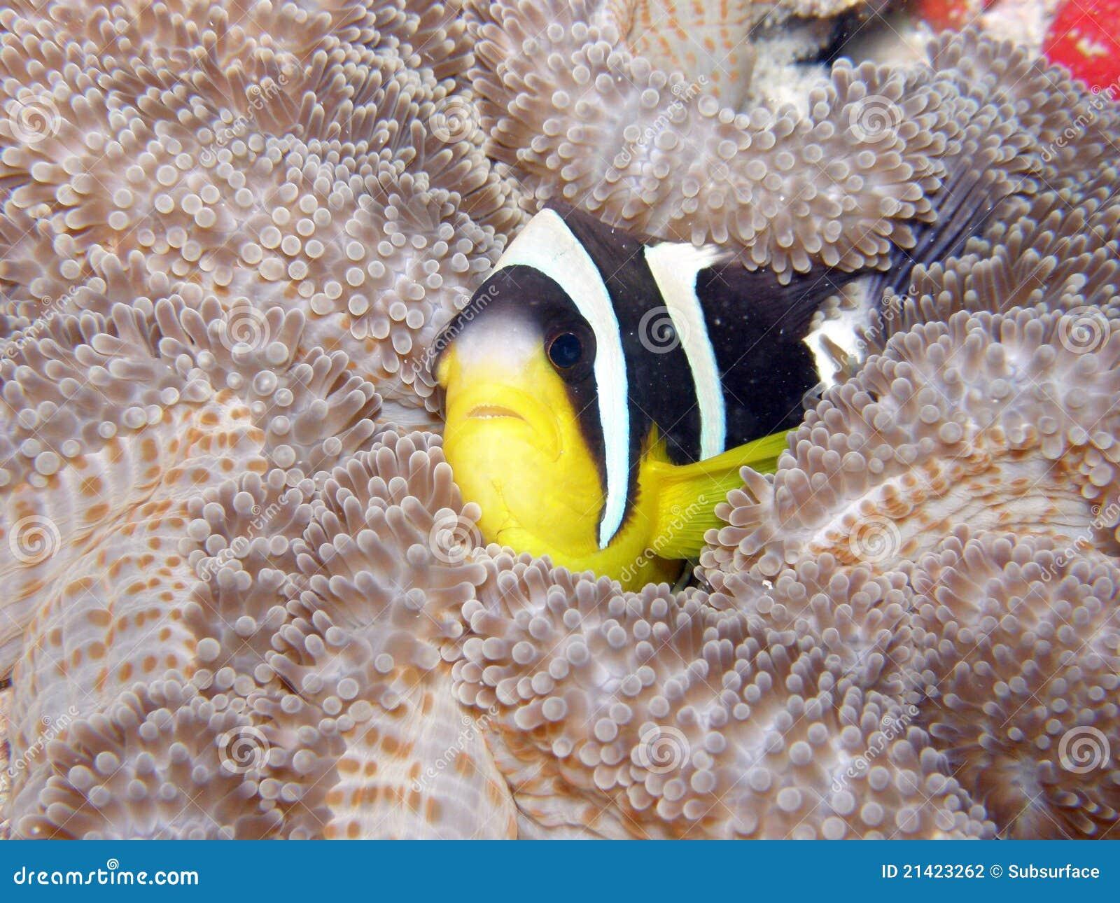 Clarks银莲花属鱼塞舌尔群岛