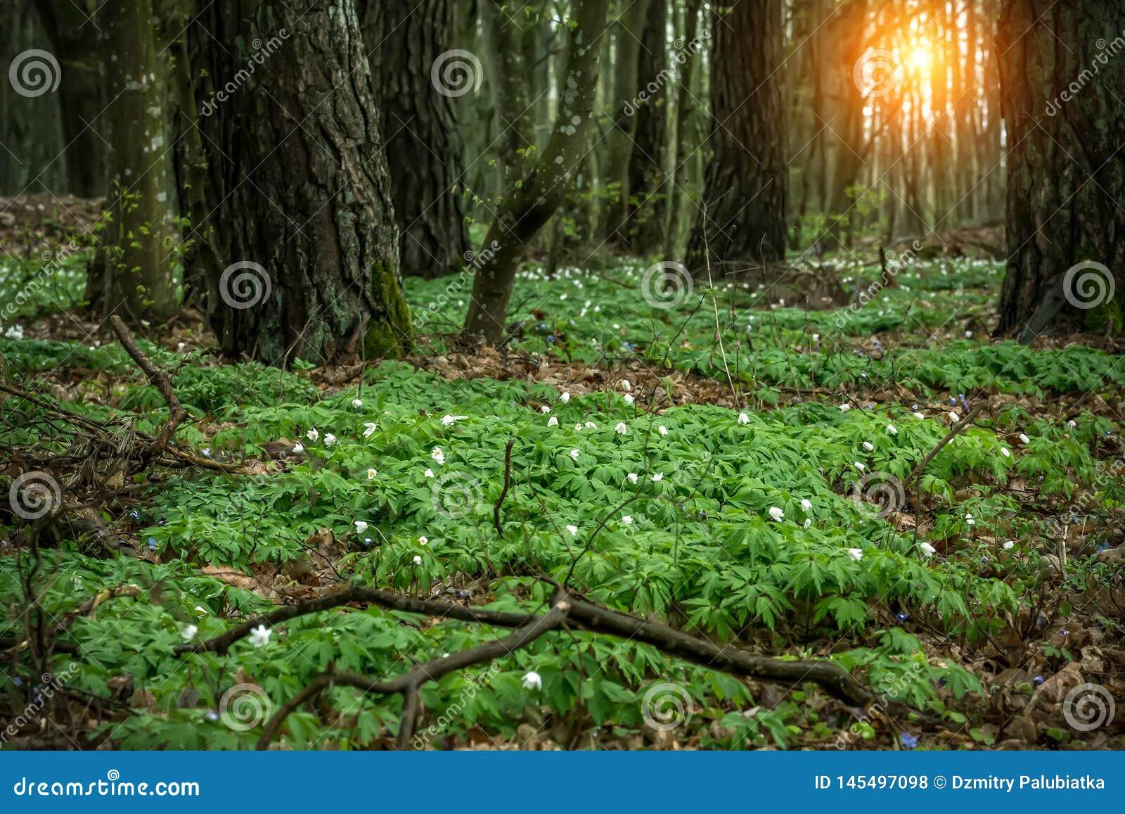 Claro en el bosque con los snowdrops en la puesta del sol