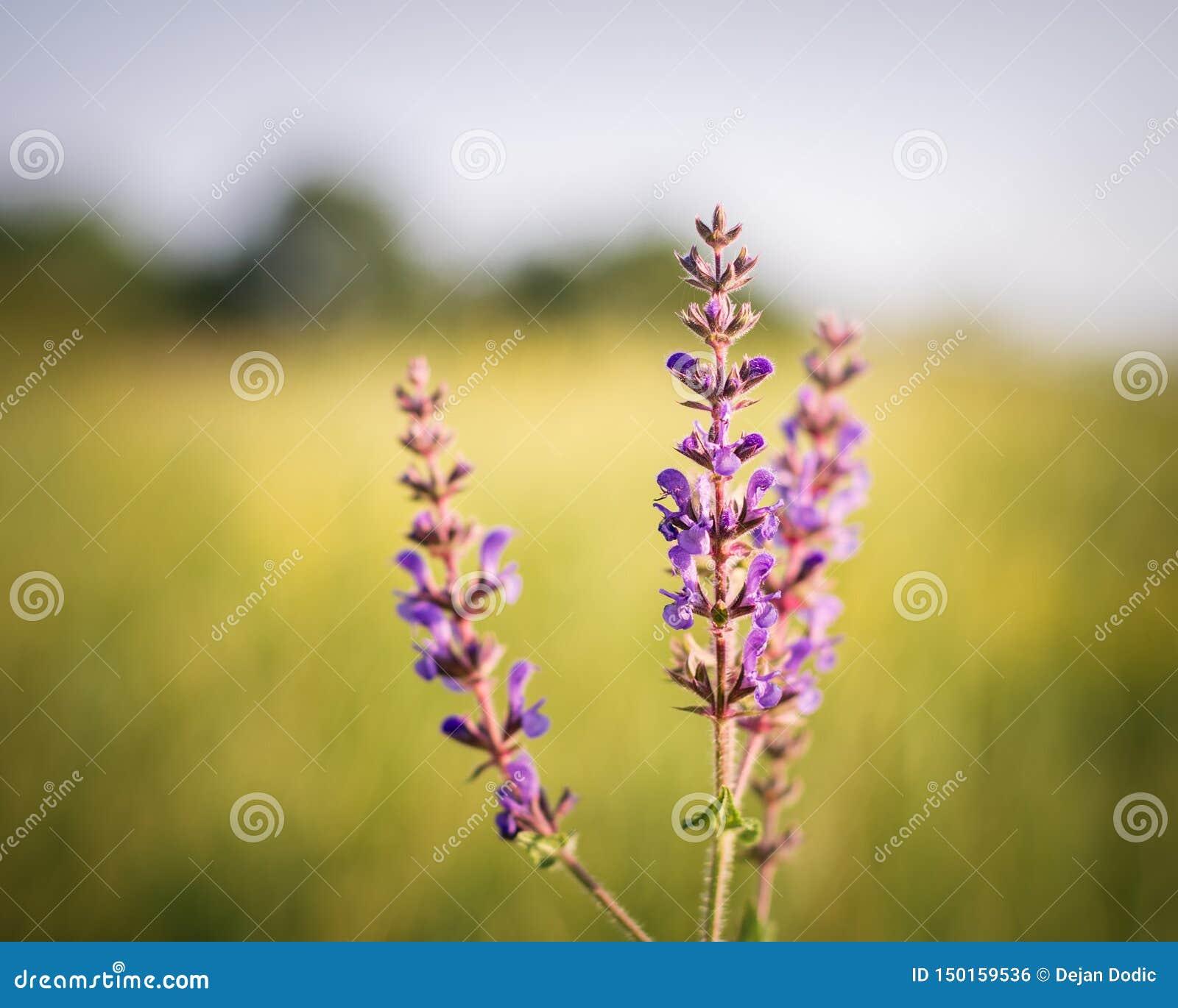 Clary de prado bajo tiempo soleado