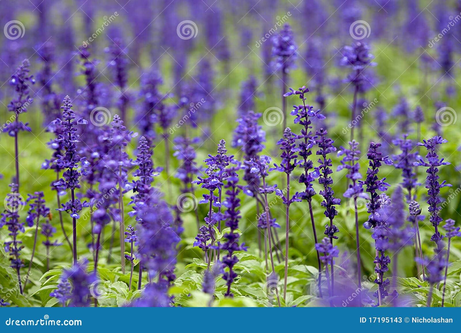 Шалфей зеленый фото цветов