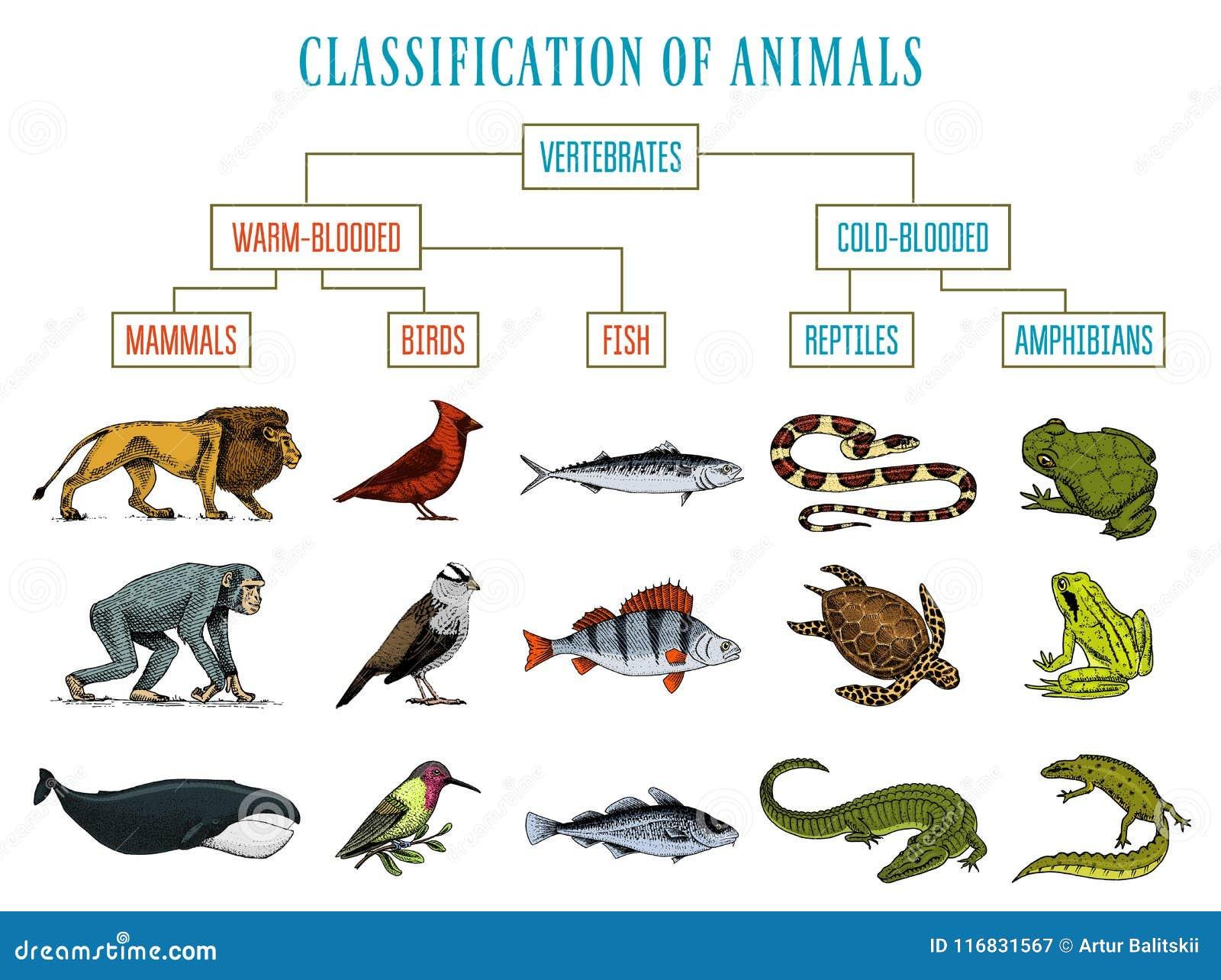 Classification Of Animals. Reptiles Amphibians Mammals Birds. Crocodile  Fish Lion Whale Snake Frog. Education Diagram Of Stock Vector -  Illustration of fish, animal: 116831567