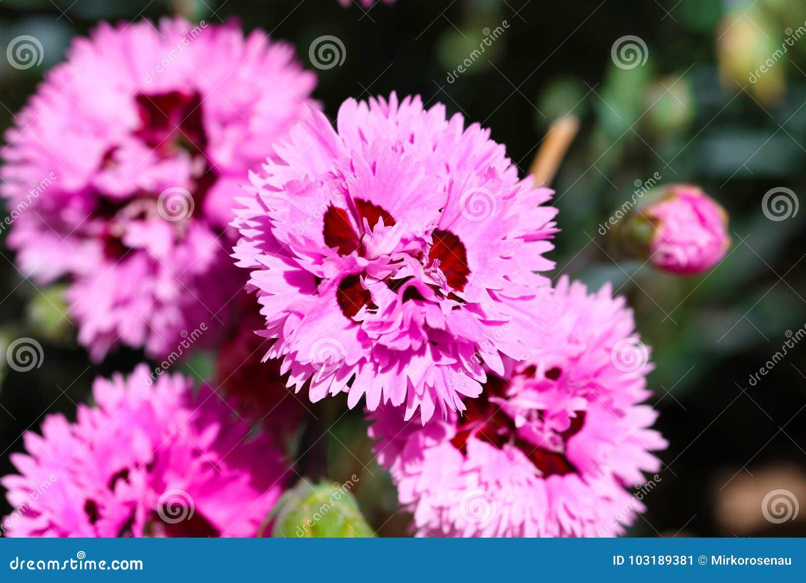 Clavel dulce Barbatus de la flor de Guillermo