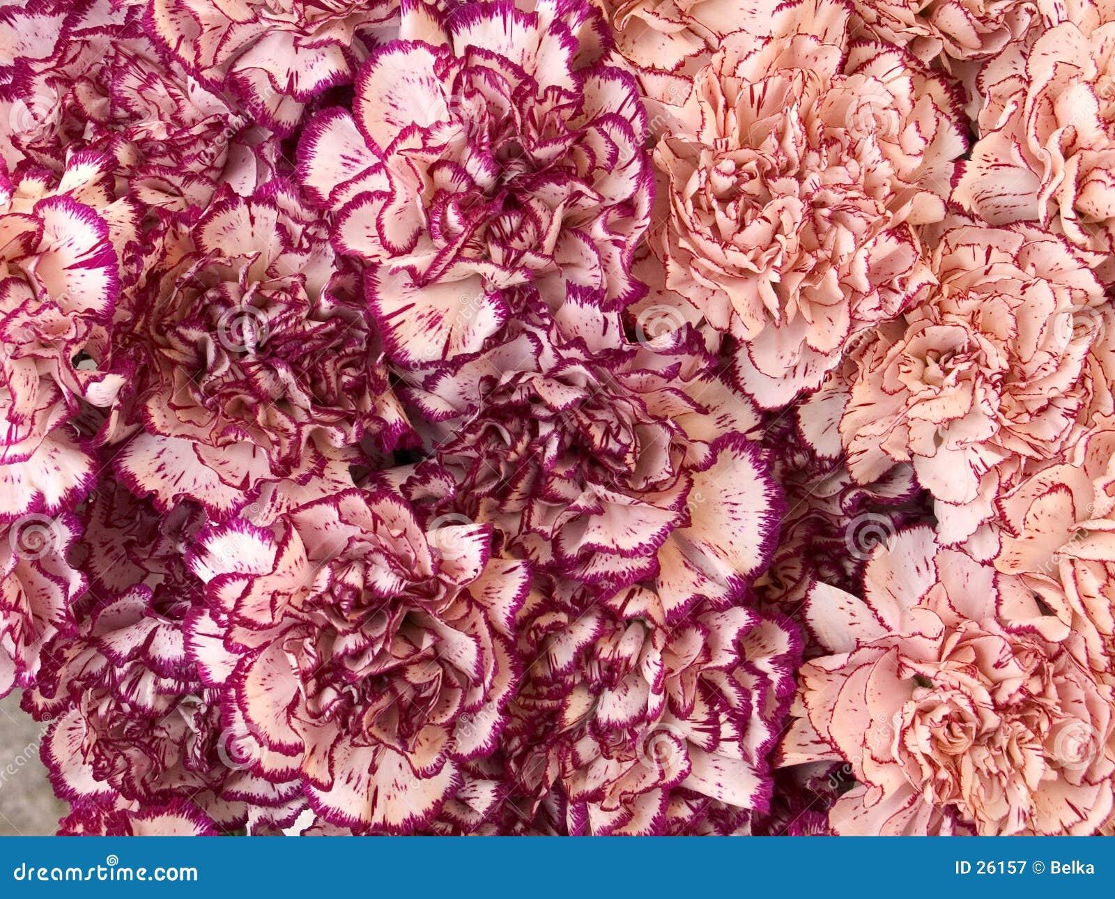 Download Claveles imagen de archivo. Imagen de arreglo, romance, flora - 26157