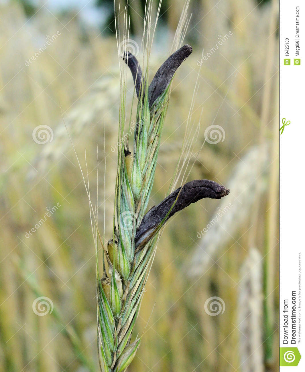 claviceps purpurea stock photos image 19425163 Corn Field Backgrounds Clip Art Corn Stalk Clip Art