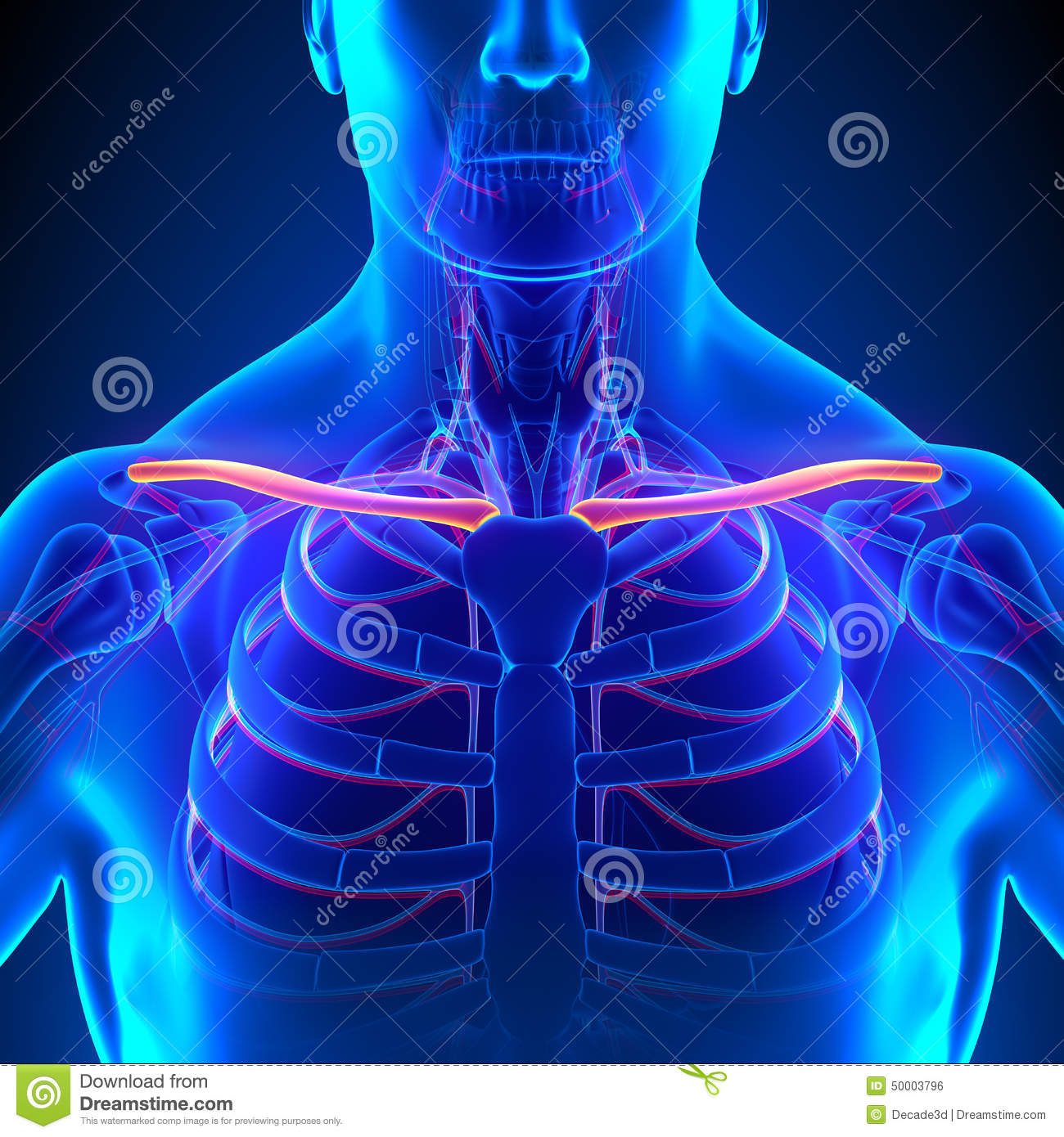 Clavicle Bone Anatomy With Circulatory System Stock Illustration ...