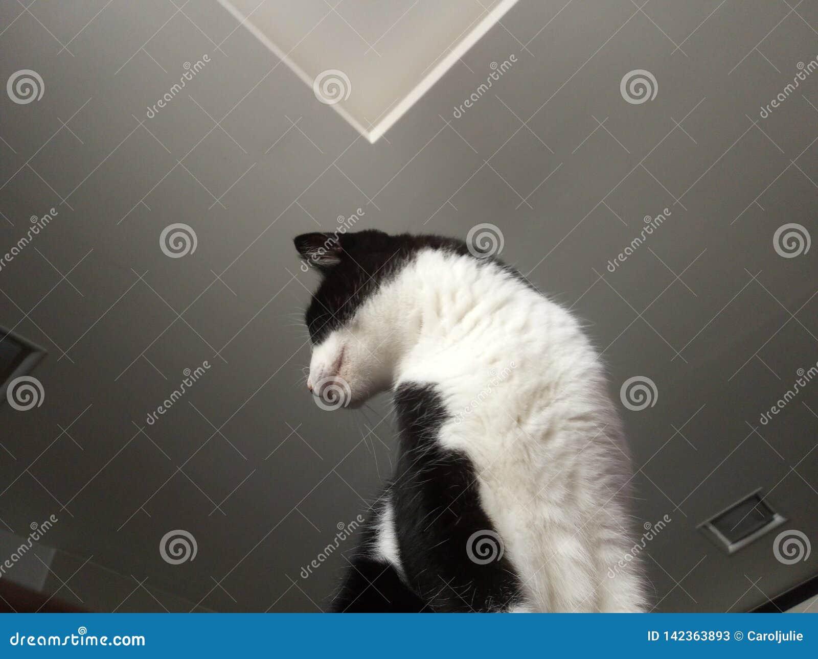 Clavito del felino del gato
