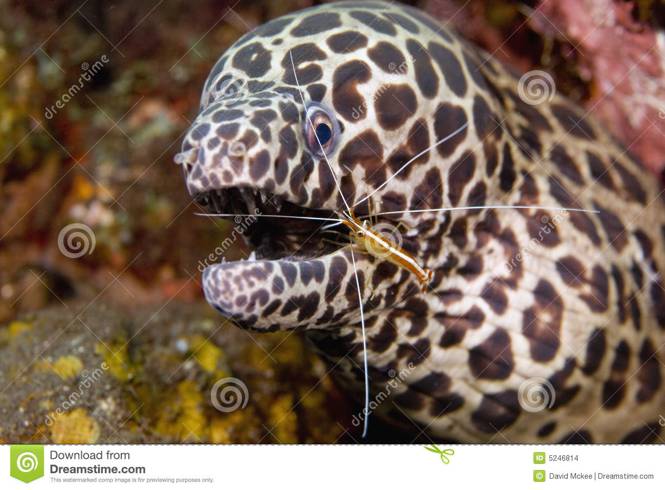 Cleaner Shrimp with Moray Eel