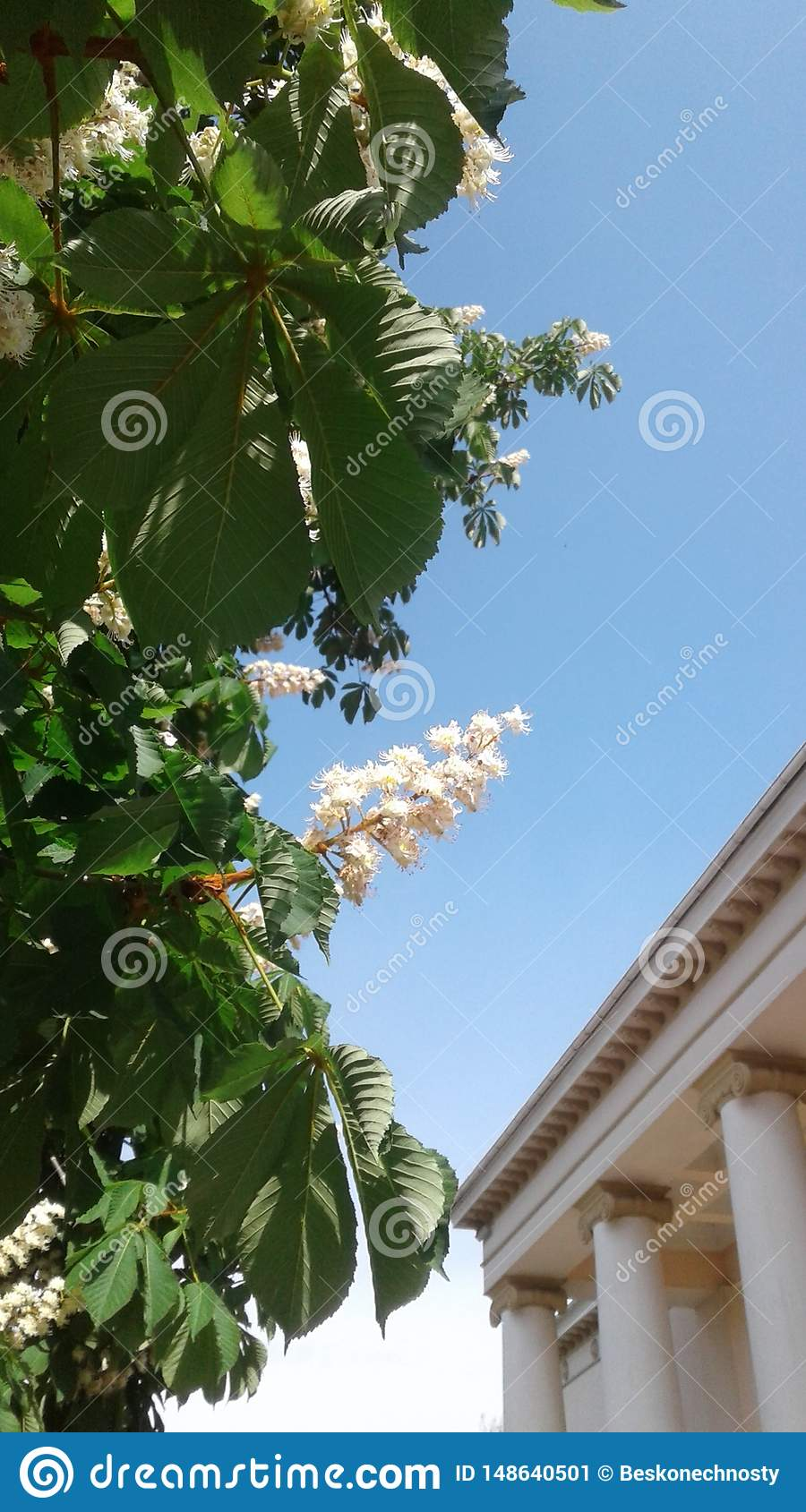 Clear blue sky. Beautiful picturesque chestnut blossoms. arge columns decorated with spiral volute.