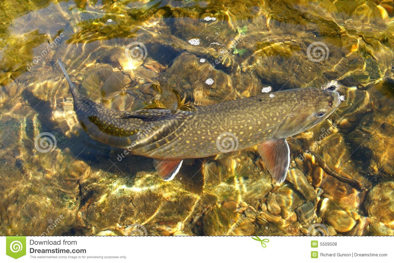 Clear Water Trout