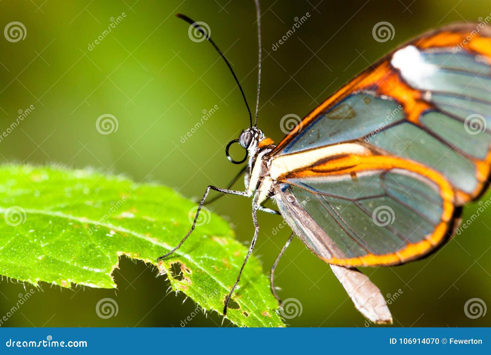 Clearwing motyl z przejrzystego ` szklanym ` uskrzydla Greta oto zbliżenie