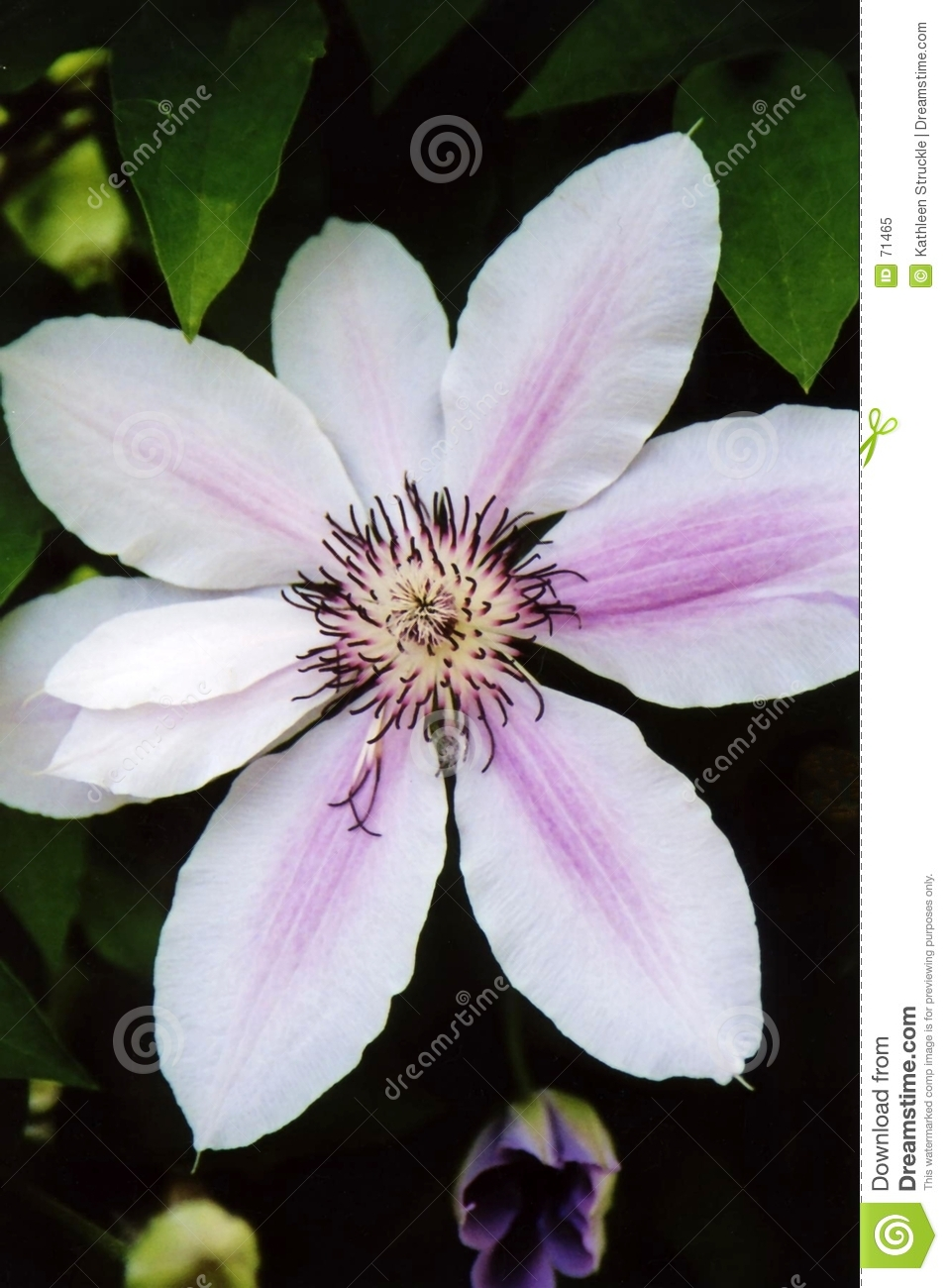 Clematis blanco