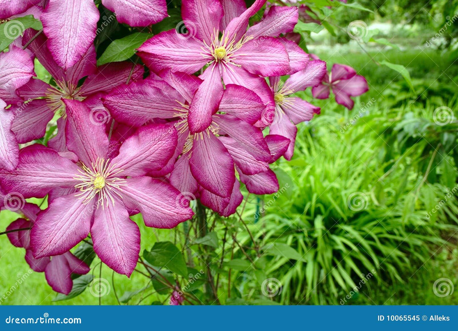 Clematis cor-de-rosa no jardim