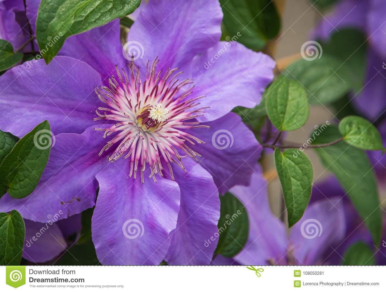 Clematis Flower In Bloom In Spring Stock Image Image Of Plant