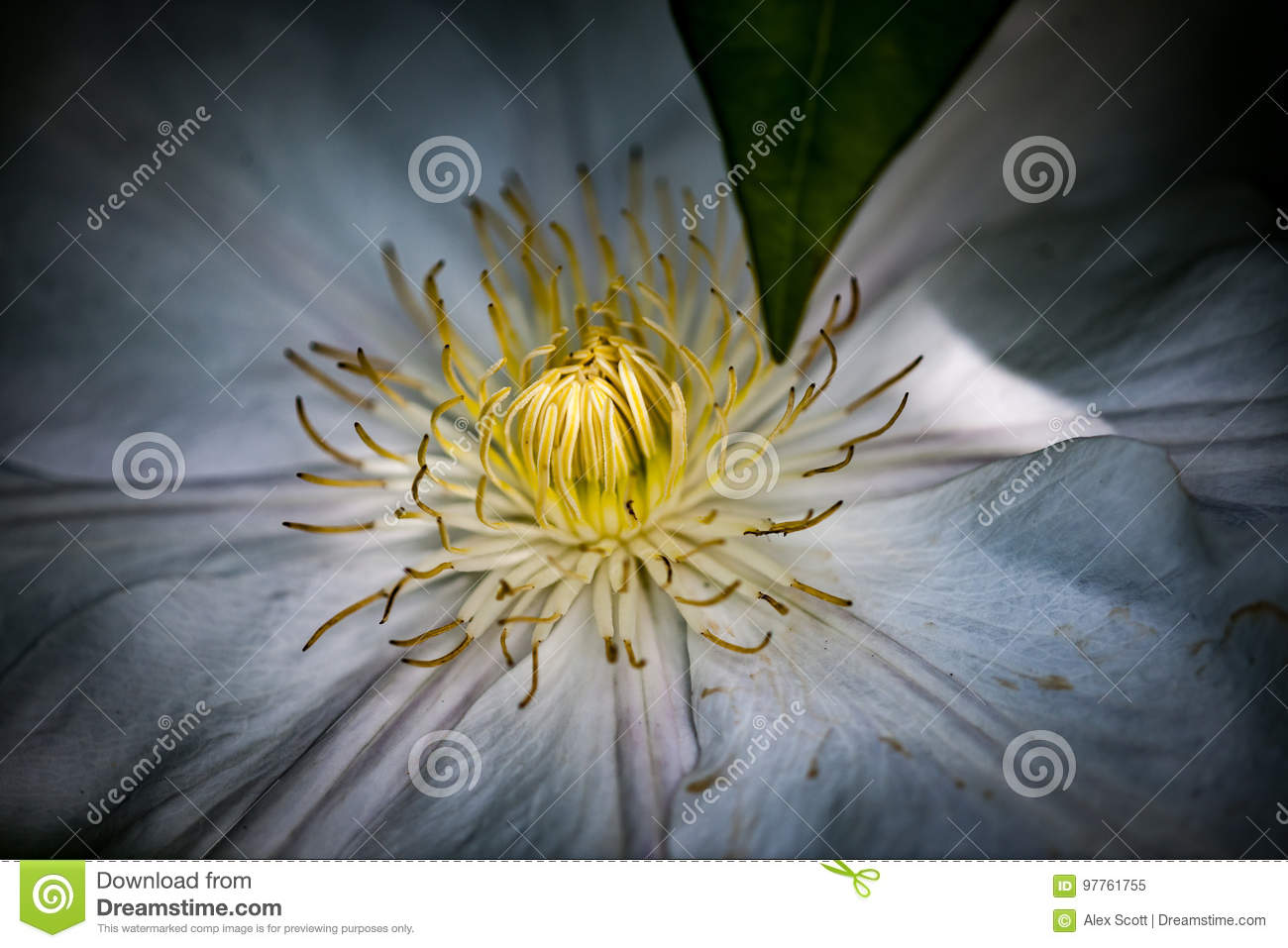 Clematis Stock Image Image Of Dappled Sunlight Environment 97761755