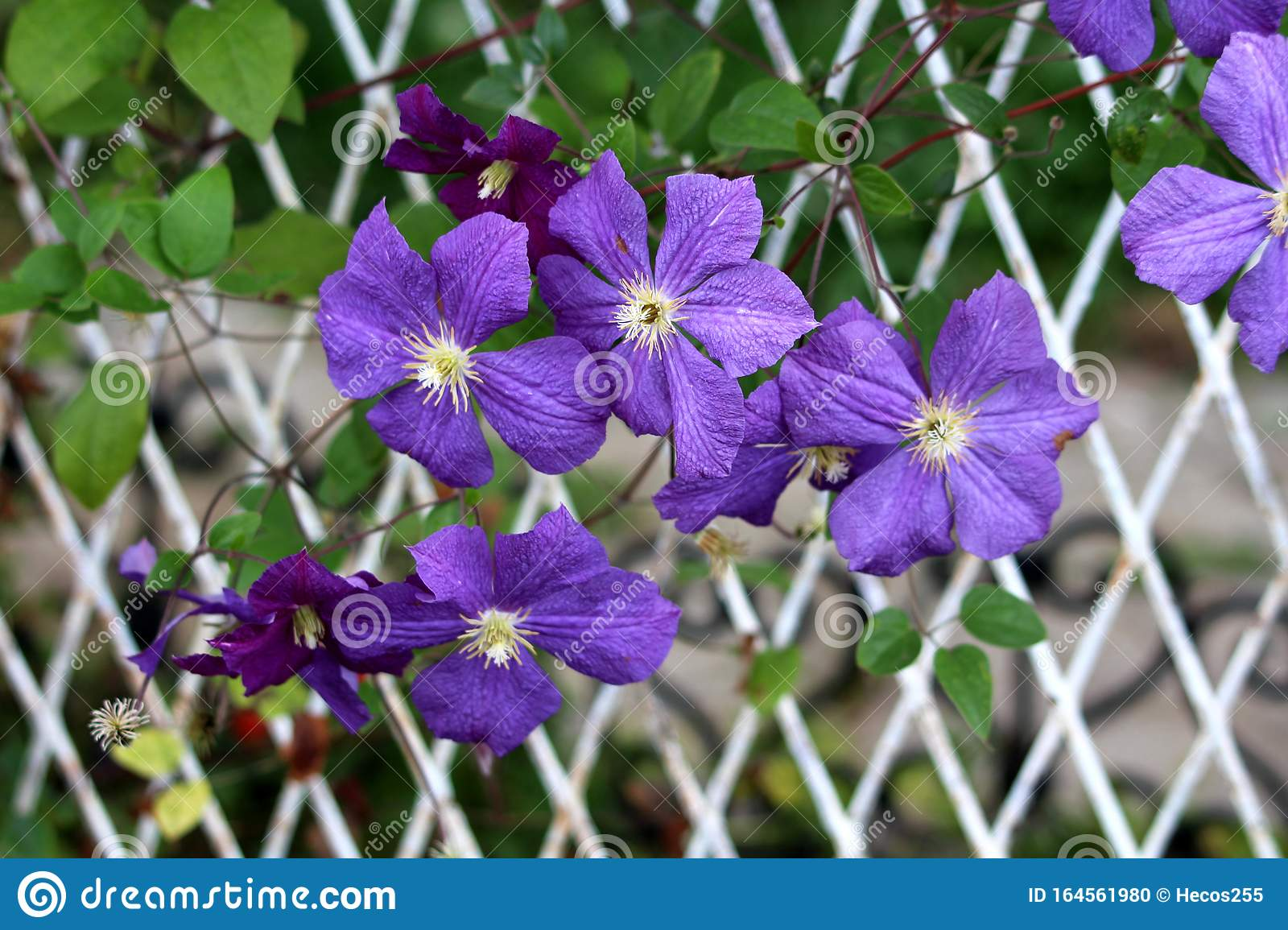 Clematis Or Leather Flower Easy Care Perennial Vine Plants