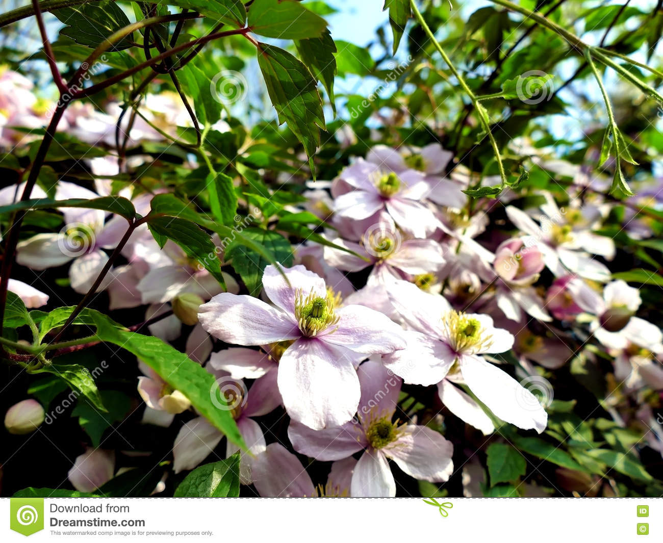 Clematis Montana Climbing Plant With Many Pink Flowers Stock Image
