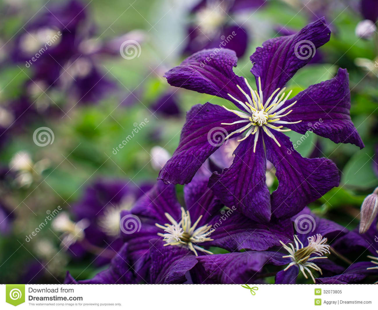 Clematis Stock Image Image Of Clematis Colorful Outdoors 32073805