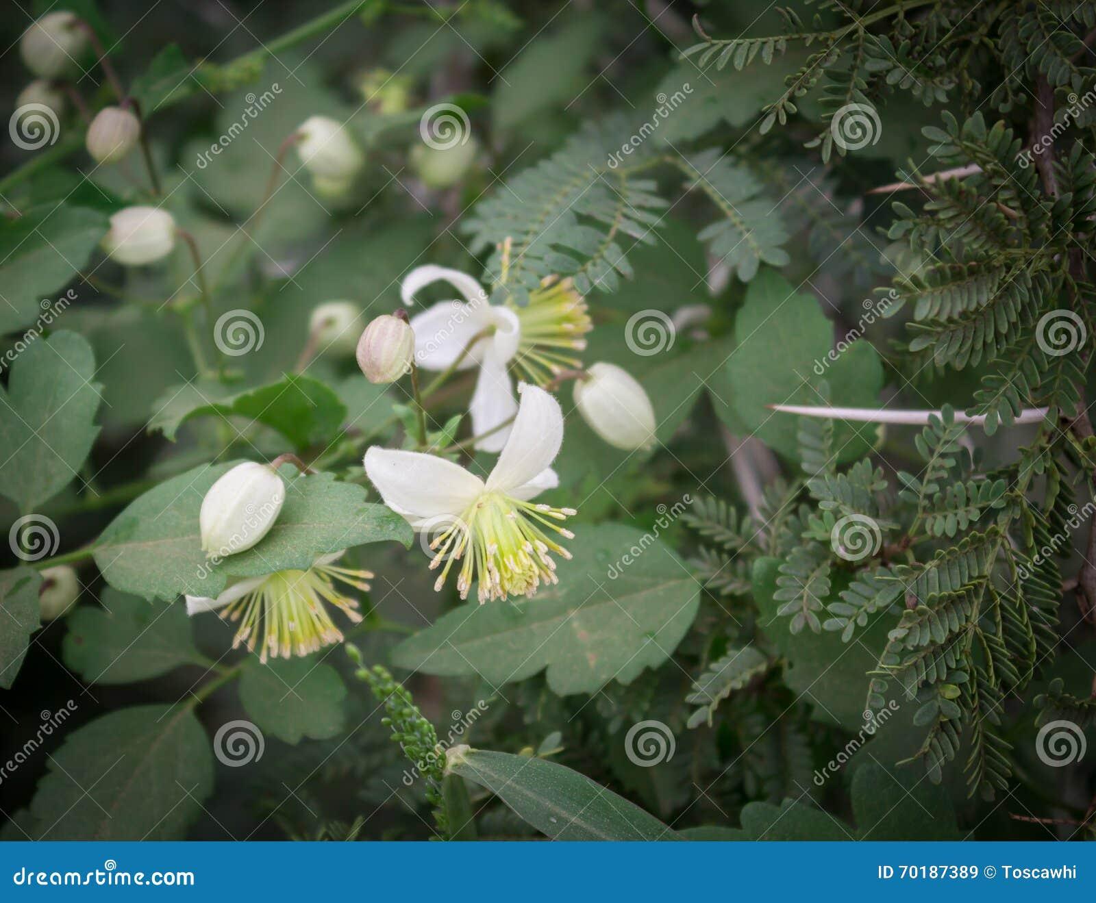 Clematus blommor och akaciataggar i fältet