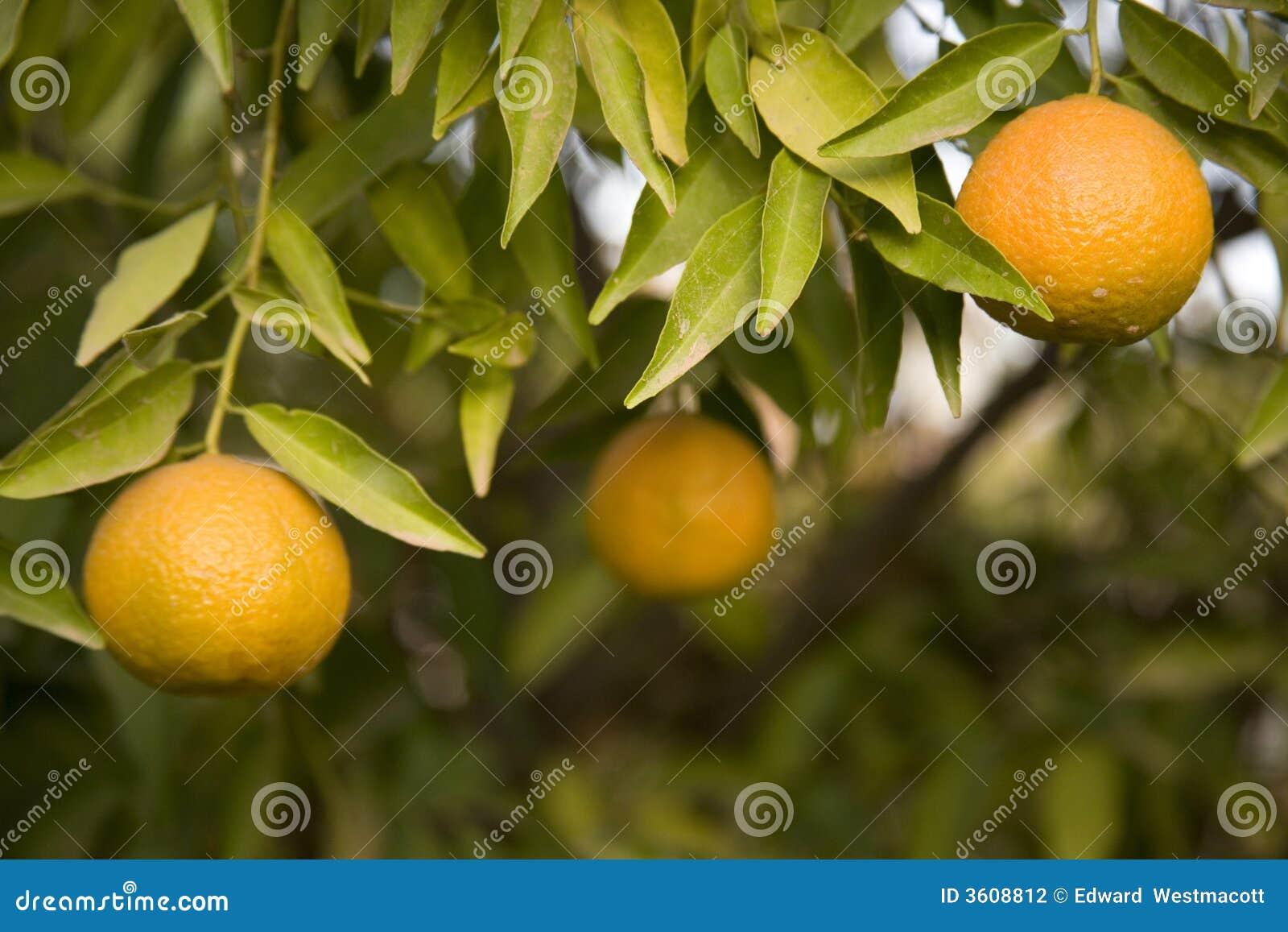 Clementina que crece en el árbol