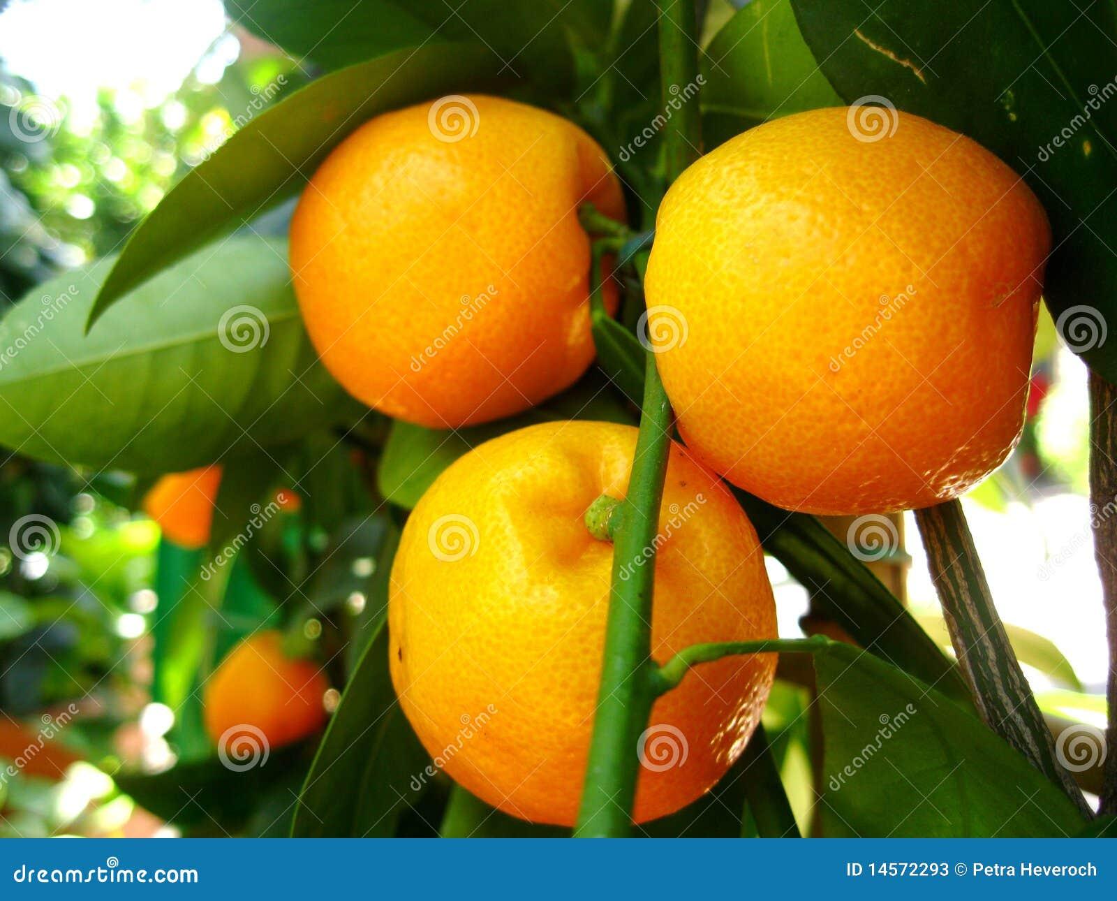 Clementine Tree Stock Image Image Of Plant Orange Health