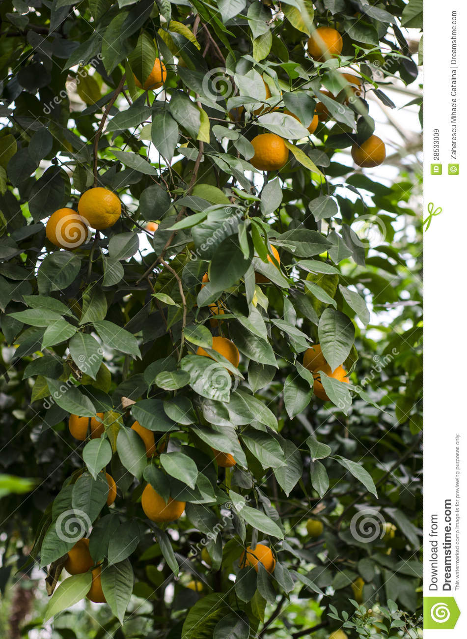 how tall is clementines tree