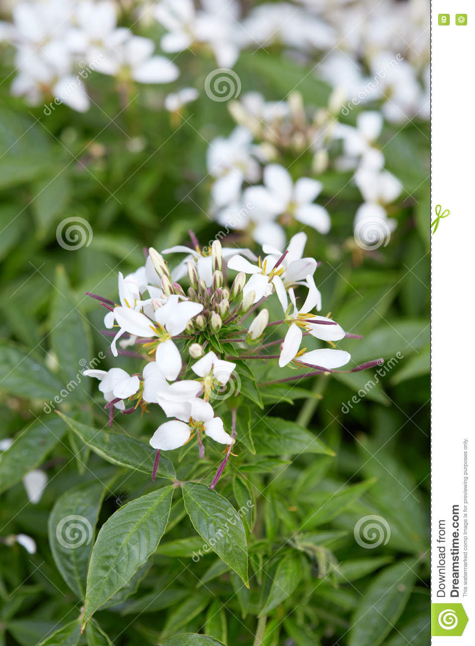 Cleome White Spider Flower And Leaves Stock Image Image Of