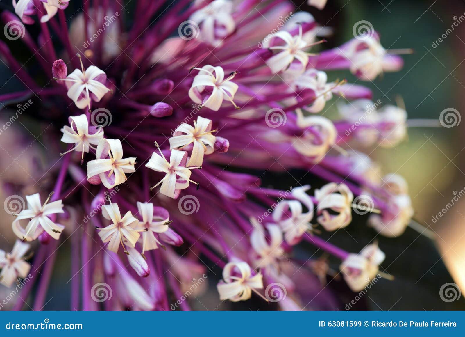 Download Clerodendrum Ou Quadriloculare Bronze-leaved De Clerodendrum Image stock - Image du décoratif, buisson: 63081599