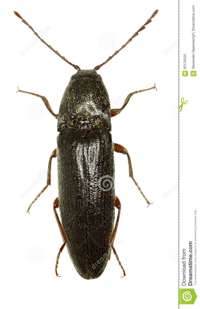 Click Beetle Melanotus on white Background