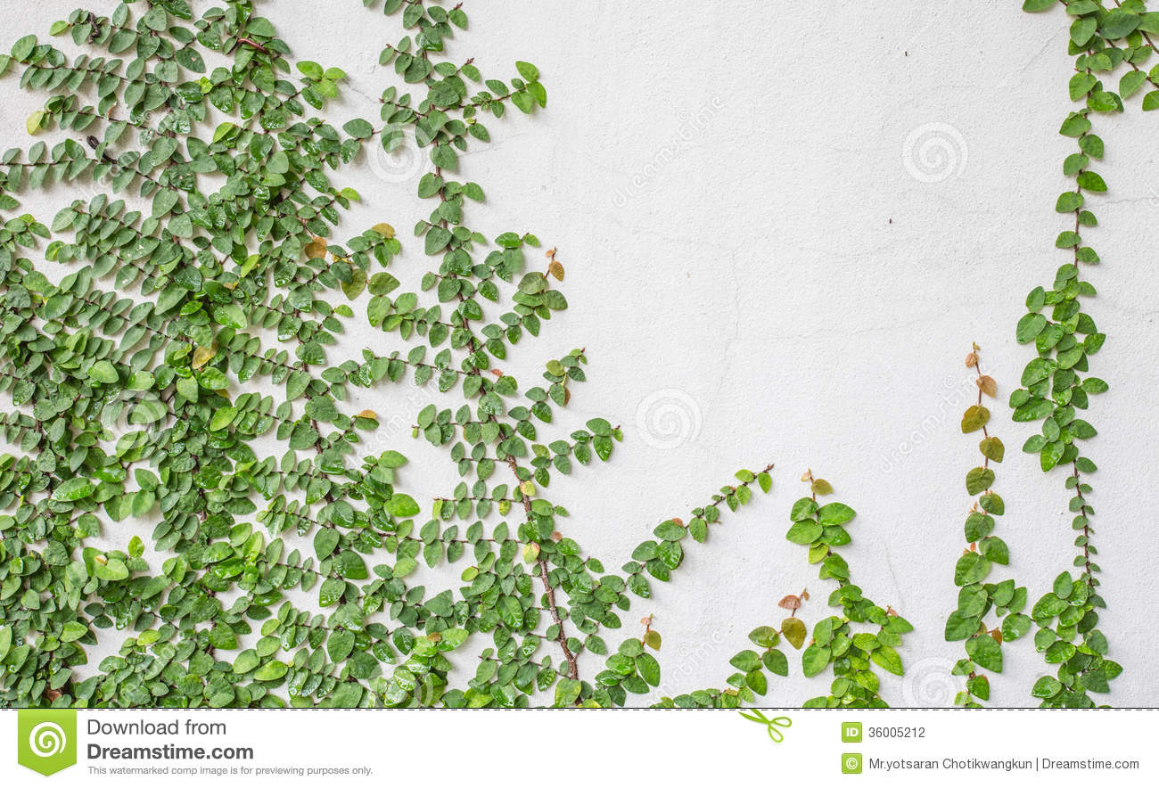 Stock Photography Climbing Fig Beautiful Plant Hickory Farms Were Also Adjacent To Wall Image36005212 on Building Home House Plans