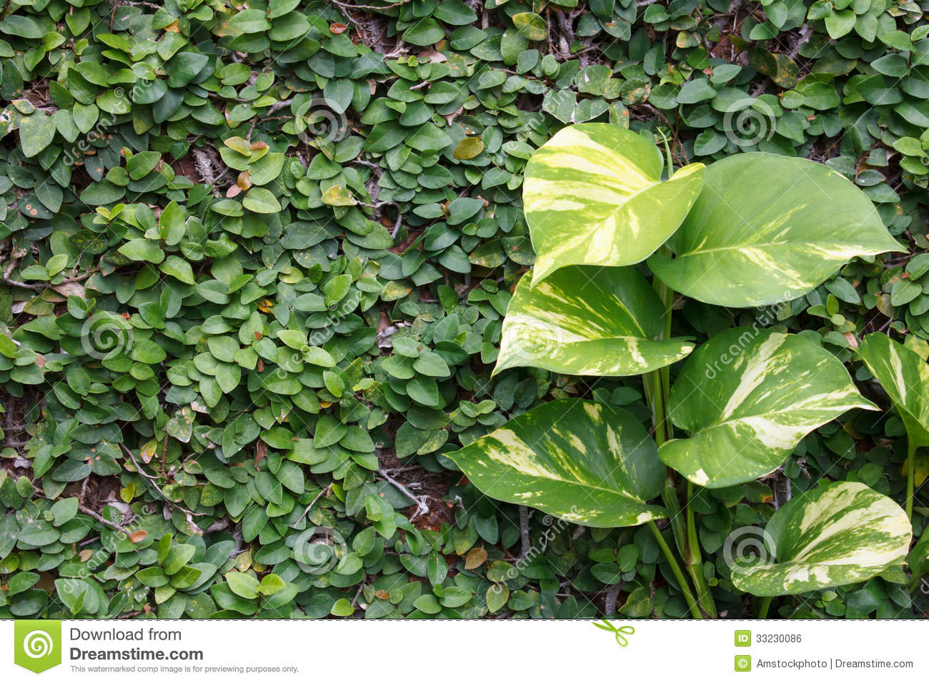 Climbing Fig On The Wall With Golden Pothos Stock Photo