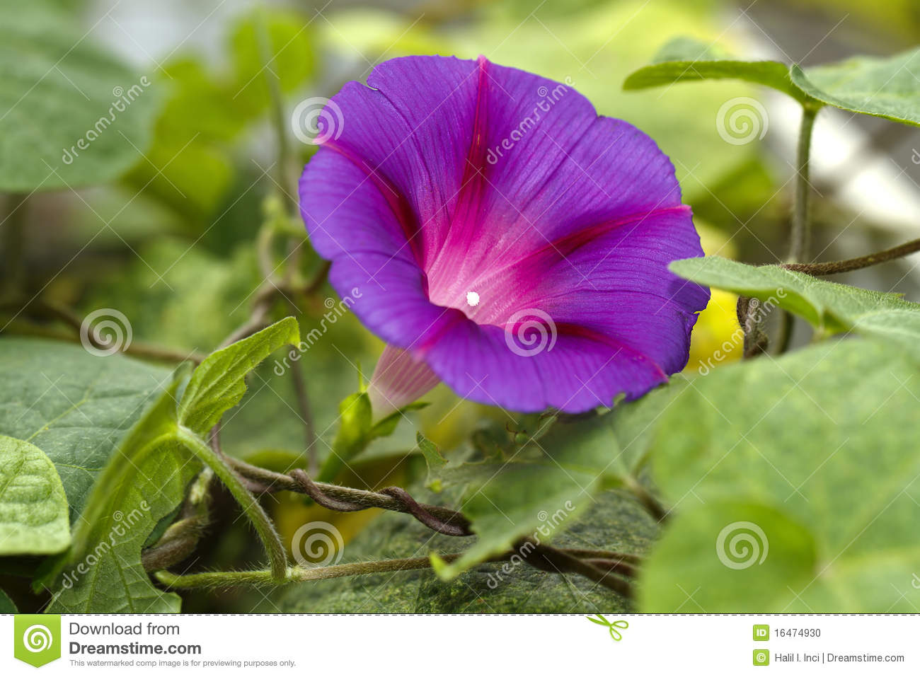 Climbing Flower Ipomea Heavenly Blue Stock Image