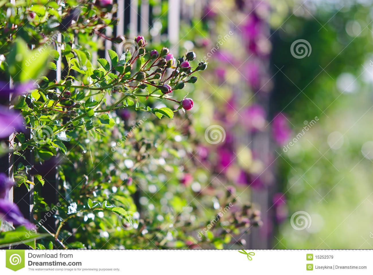 Climbing Flowers A Fence Royalty Free Stock Image