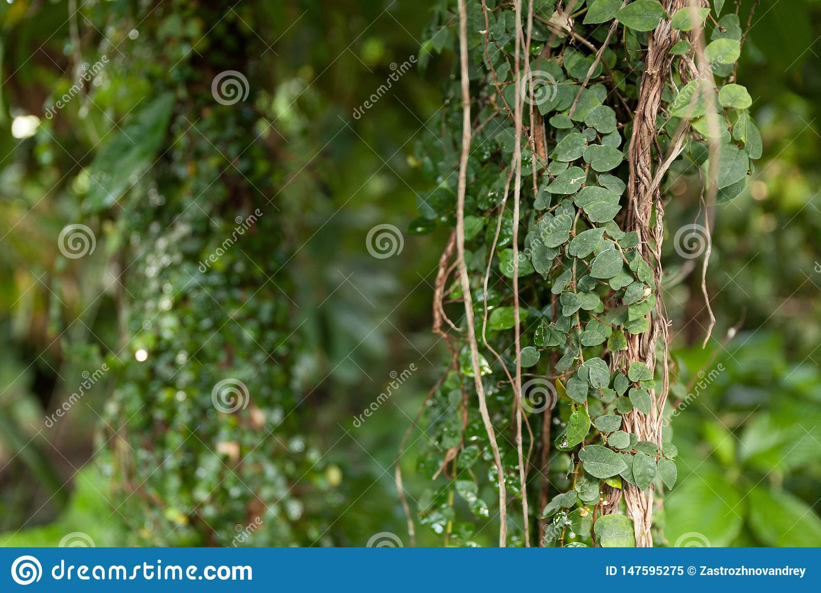 Climbing green tropical plant. Exotic beautiful plants.