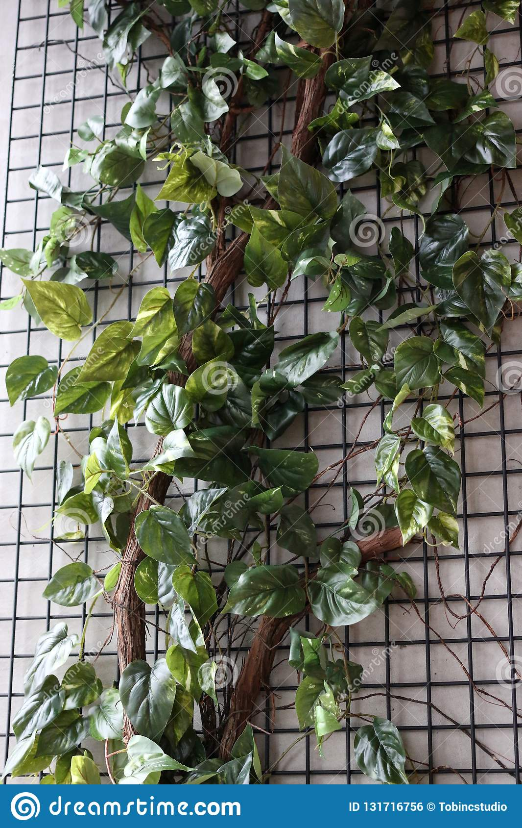 Climbing Ivy Vines On A Wall Stock Photo , Image of long
