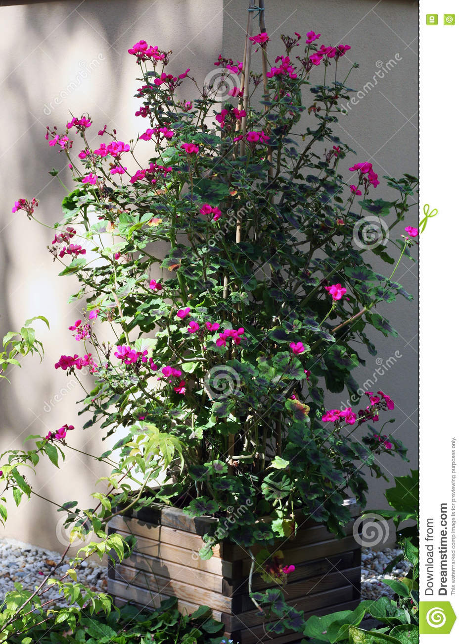 Climbing Pelargonium Plants Stock Photo Image 68937564