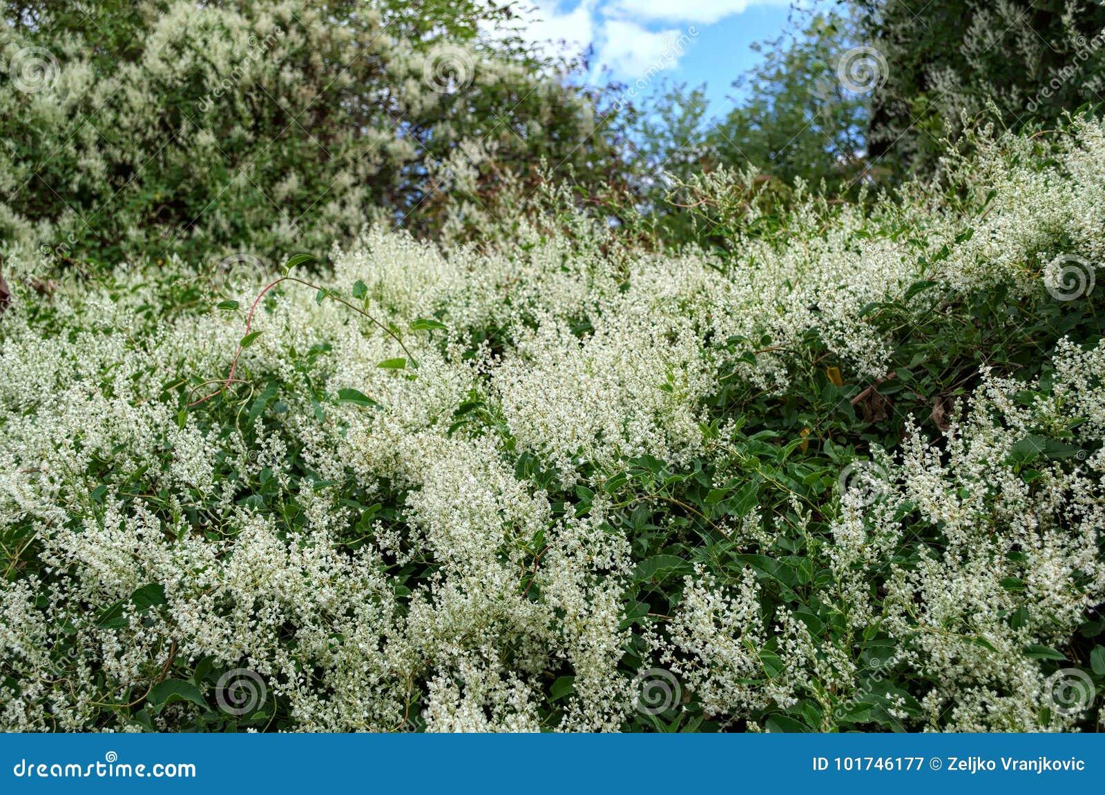 Piante Rampicanti Fiori Bianchi.Climbing Plant Abundance Of Blooming White Flowers Stock Image