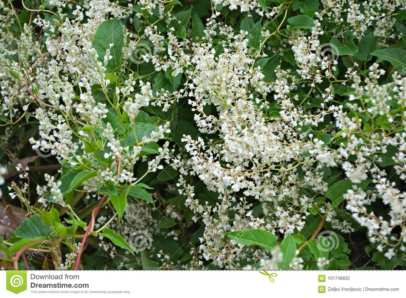 Climbing plant blooming white flowers close up stock photo image climbing plant blooming white flowers close up mightylinksfo