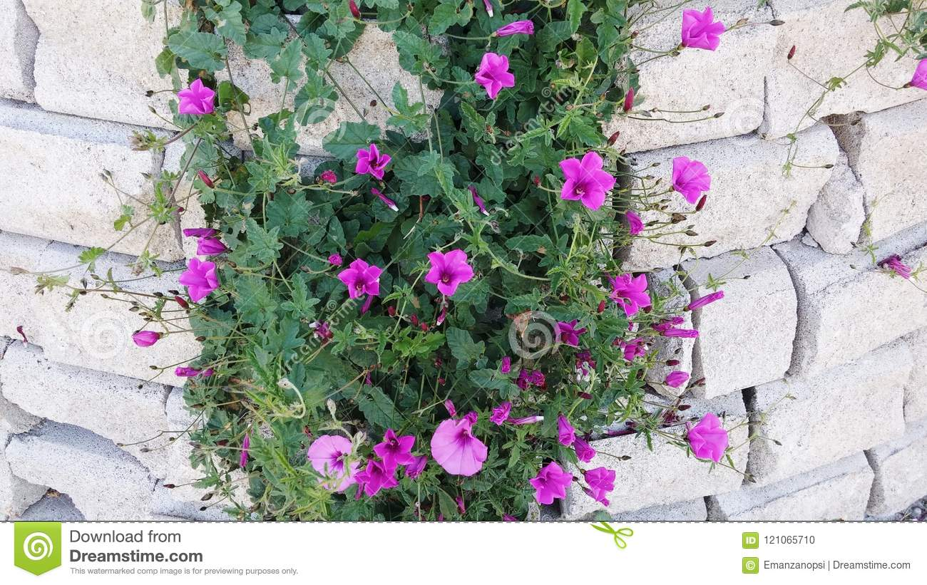 Climbing Plant In The Wall Stock Photo Image Of Climbing 121065710