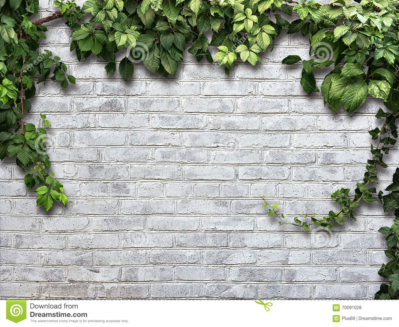 Climbing Plant On The White Brick Wall Stock Photo Image Of Wall Spring 70091028