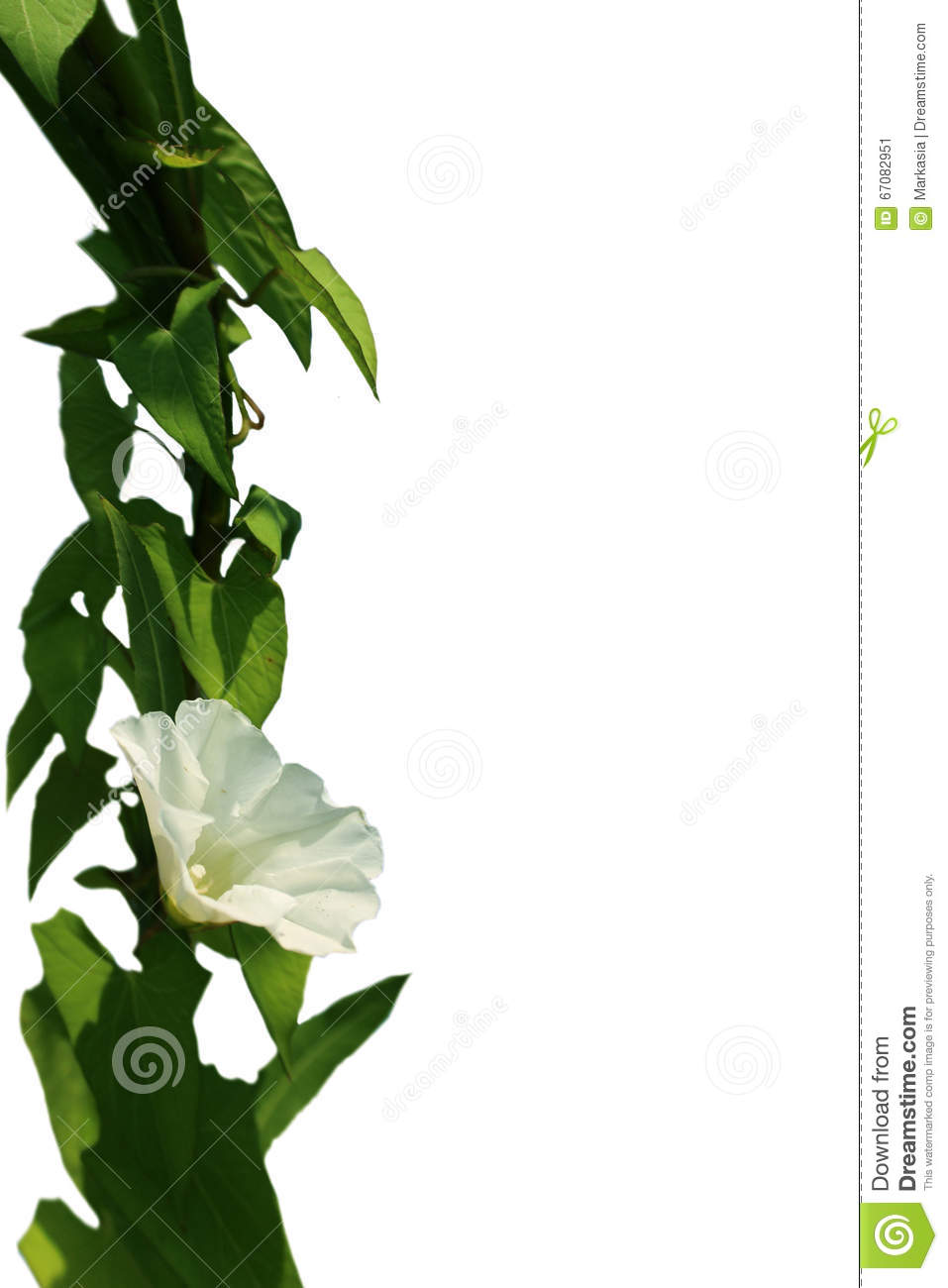 Climbing Plant With White Flower Stock Image Image Of Flora