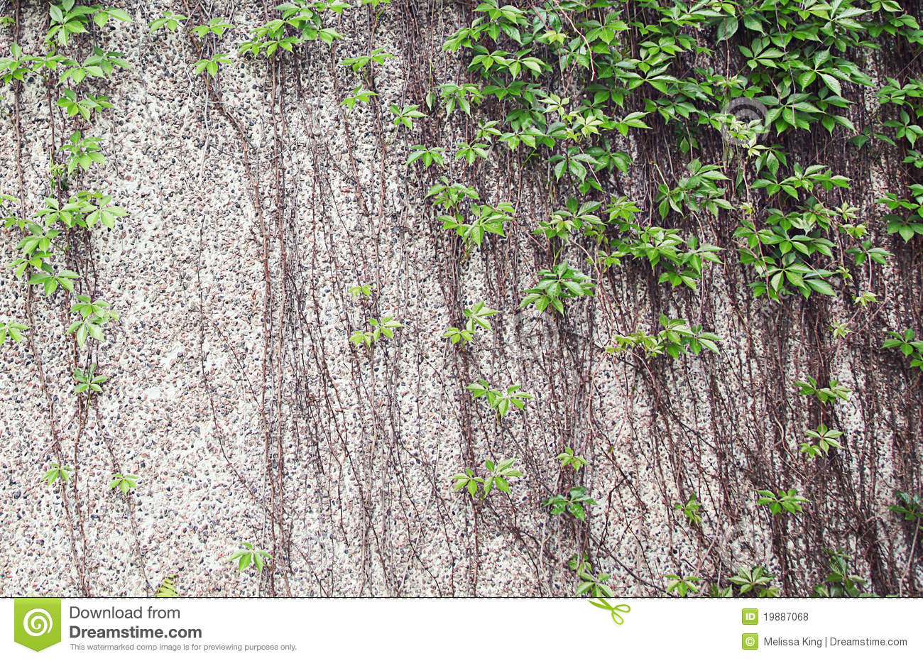 climbing plants on wall royalty free stock photos image. Black Bedroom Furniture Sets. Home Design Ideas