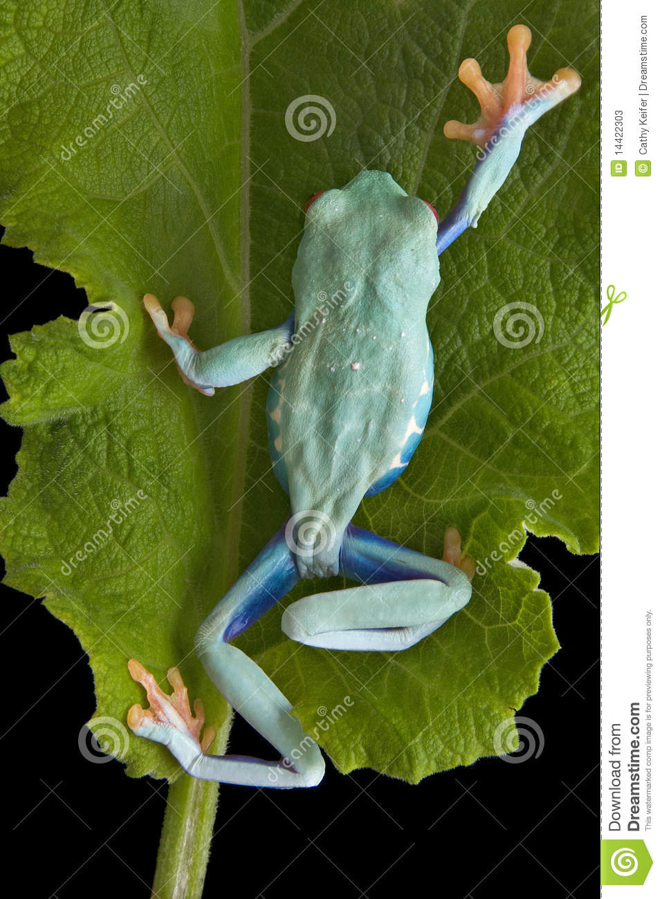 Climbing Tree Frog Stock Photos - Image: 14422303