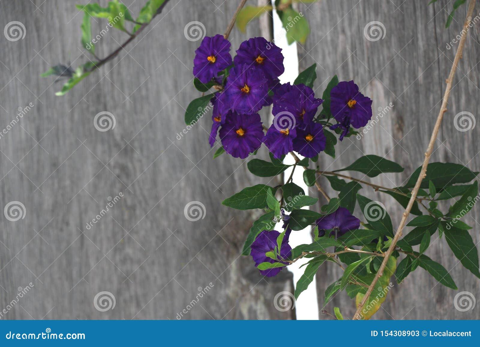 Climbing Vine With Deep Purple Flowers Stock Image Image Of