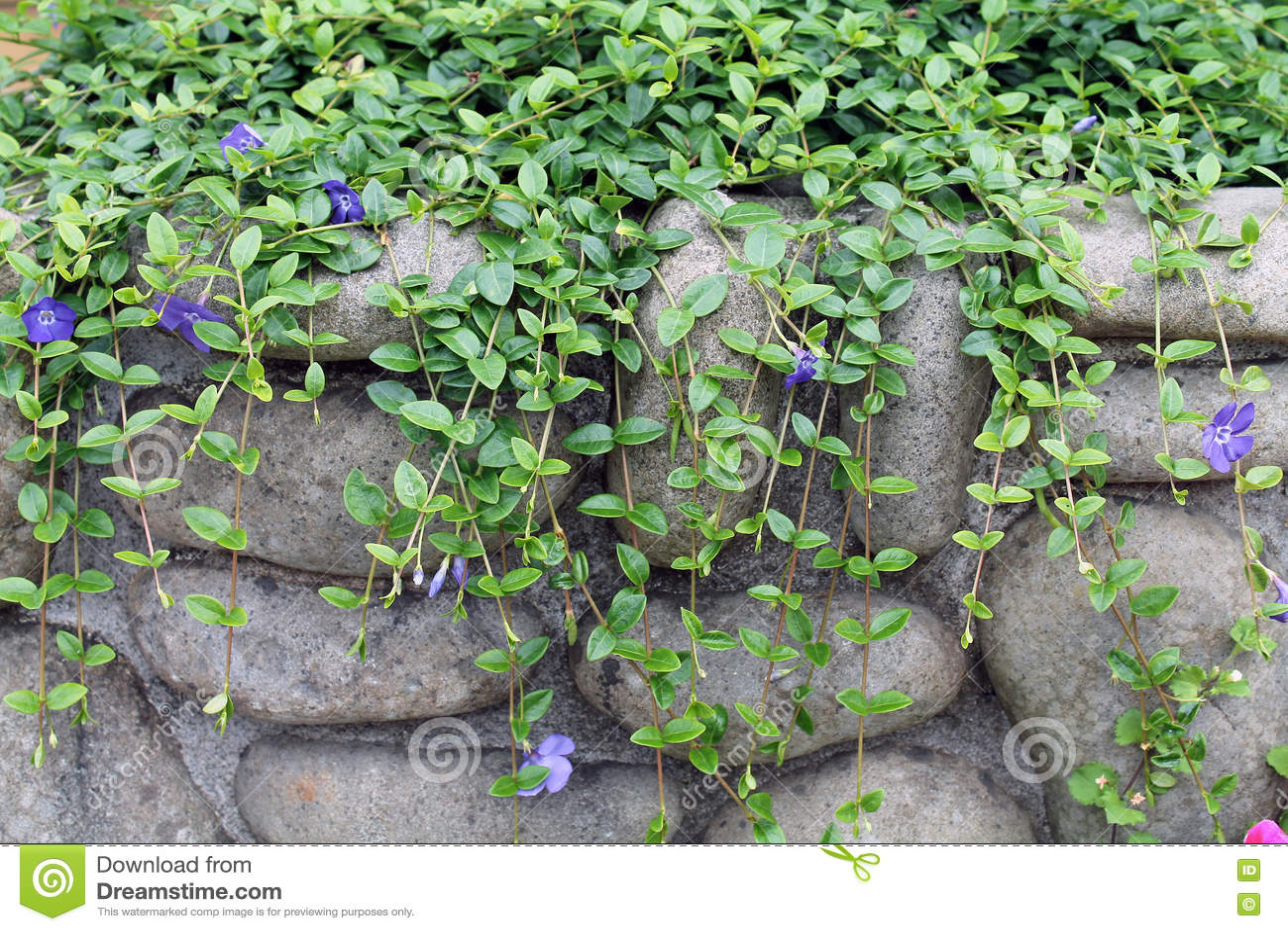 Climbing Vine Purple Flowers Rock Wall Stock Photos Download 4