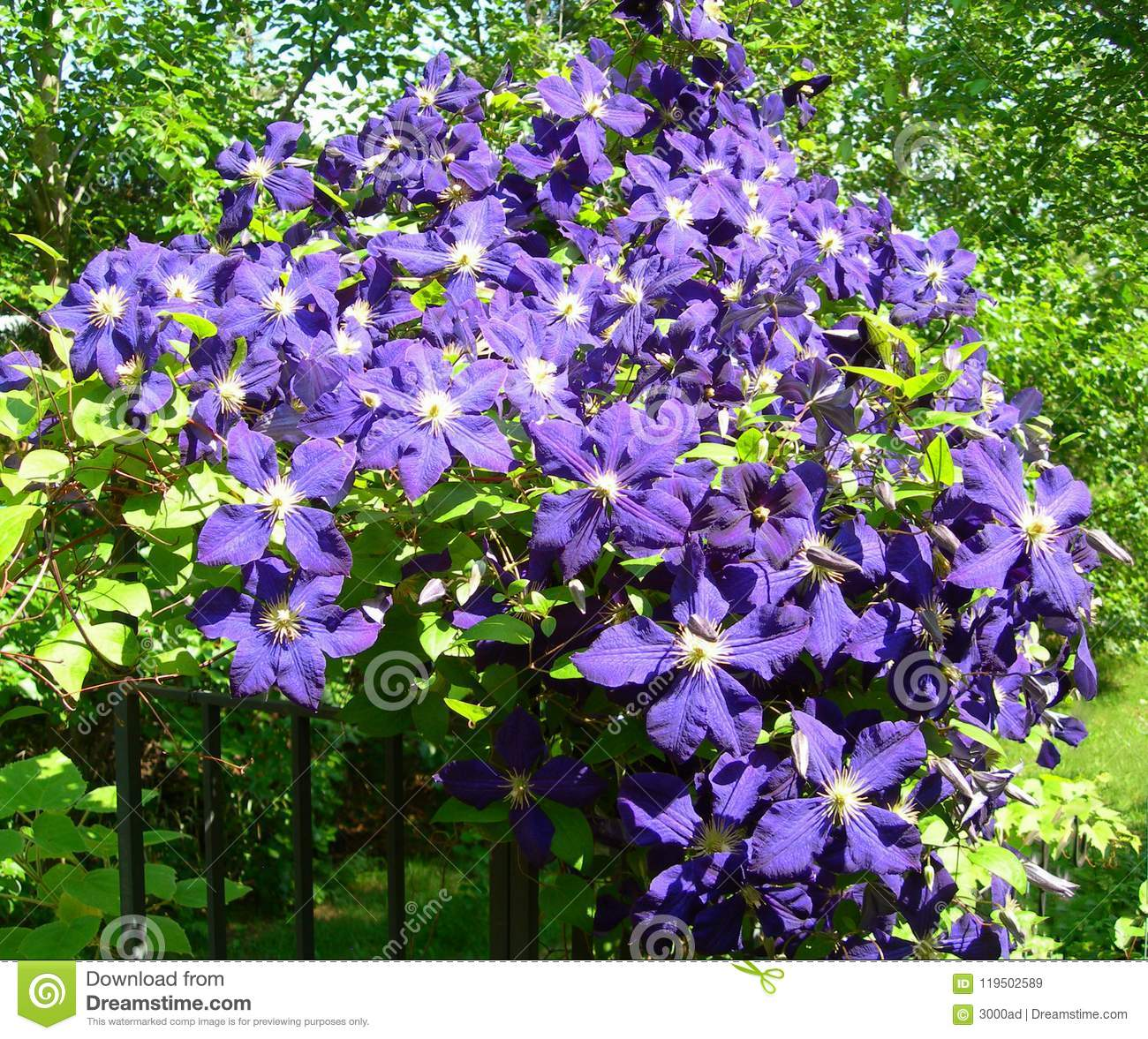A Climbing Vine Of Violet Clematis Flowers Stock Image Image Of