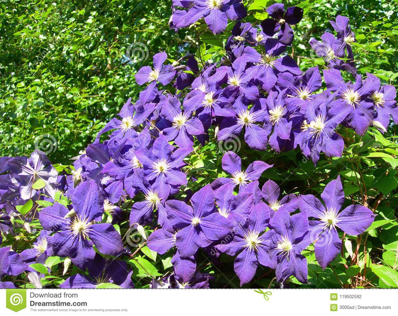 A Climbing Vine Of Violet Clematis Flowers Stock Photo Image Of
